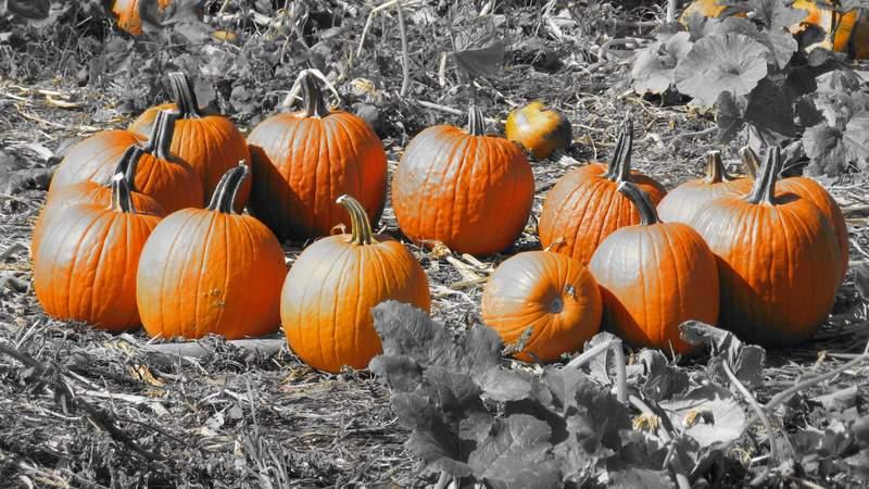Pumpkin Henge